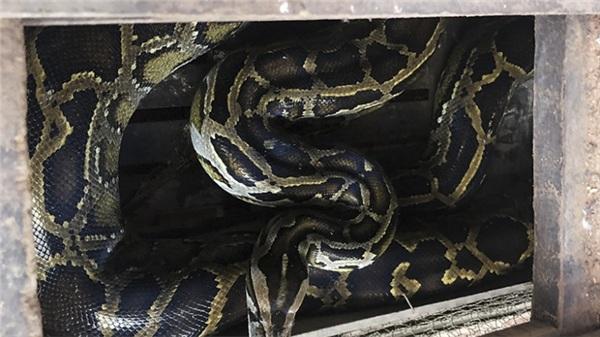 Đi làm đồng, dân bắt được trăn 'khủng' nặng 35kg, dài 3,5m ở Hà Tĩnh