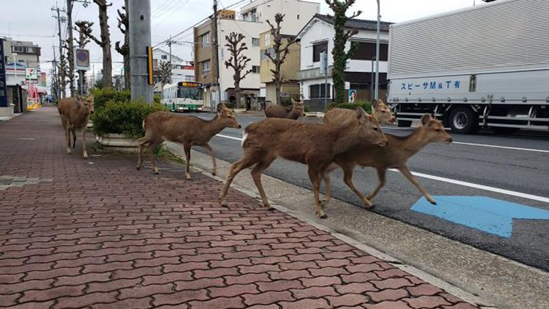 Trong khi cả mọi người ở trong nhà vì Covid-19, các loài động vật 'tung tăng dạo phố'