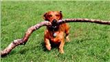Ra cho Bosco thể hiện: Chỉ dài 30cm nhưng thích 'sưu tầm' cành cây dài cả mét đi khoe khắp nơi