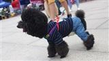 Ngày hội thú cưng: Nơi tụ hội của những chú cún 'con nhà giàu' thứ thiệt