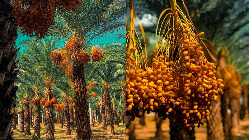 Vườn chà là trĩu quả vàng rực ở Đồng Tháp khiến giới trẻ mê tít, rần rần rủ nhau đến check-in