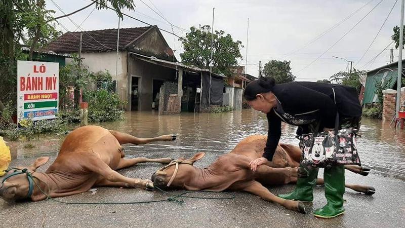 Xót xa cảnh người dân bật khóc nức nở vì mất trắng đàn bò sau lũ