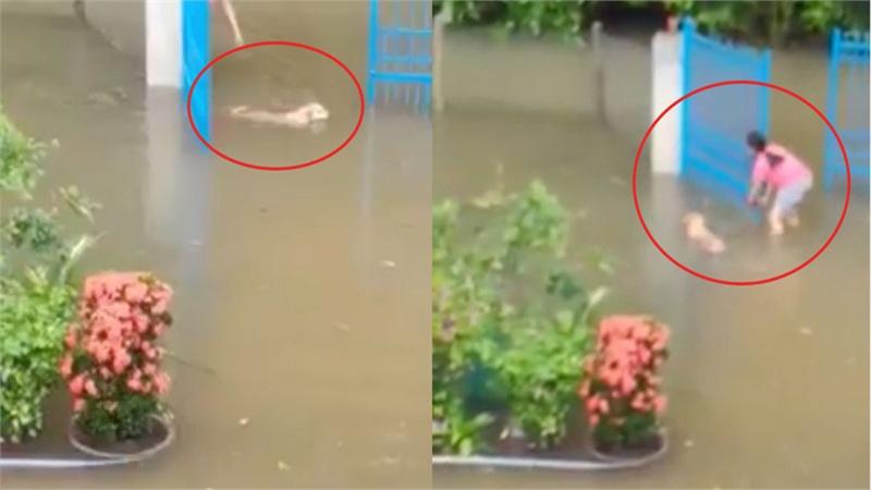 Người quay clip chú chó tìm chủ trong cơn lũ ở Quảng Nam: 'Nghe thấy chủ gọi, nó bơi ngược lại nhanh như chớp'