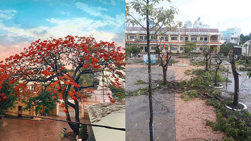 Hình ảnh: Hàng loạt cây phượng bị đốn bỏ để đề phòng đổ gãy, học sinh ngậm ngùi tiếc nuối