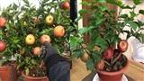 Táo bonsai mọc từ cây dâm bụt: 'Cú lừa ngoạn mục' ngày cận Tết