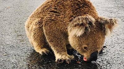 Đau lòng cảnh gấu túi phải liếm nước mưa giữa đường vì khát nước sau thảm họa cháy rừng ở Australia