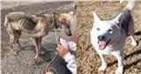 Bị chủ hành hạ bỏ cho chết đói, chú chó husky da bọc xương được cứu sống và 'lột xác' ngoạn mục sau một thời gian ngắn