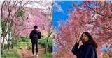 Đà Lạt mùa hoa anh đào đẹp cứ ngỡ như đang ở Nhật Bản