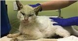 Nhận nuôi chú mèo mù lòa thân tàn ma dại, cô gái giúp con vật 'lột xác' thần kỳ nhưng ngỡ ngàng hơn khi nó mở to đôi mắt