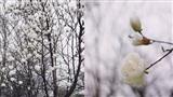 Ngẩn ngơ chiêm ngưỡng hoa mộc lan nở trắng tinh khiết tại Trung Quốc