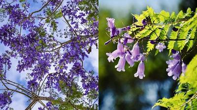 Ngẩn ngơ ngắm hoa phượng vào mùa, nhuộm tím cả phố phường Đà Lạt