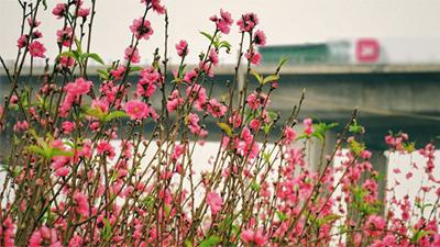 Hoa đào nở rộ dưới chân cầu Nhật Tân: Lãng mạn như trong phim nhưng người dân thì thấp thỏm lo sợ