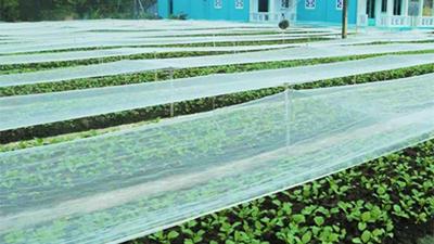 Đột nhập vùng trồng rau miền Tây tươi mướt như ở Đà Lạt cung cấp cho Bách Hóa Xanh
