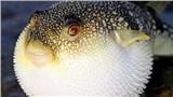 Cùng nhau ăn cá nóc 8kg ở Quảng Ngãi, 1 trong 6 người ngộ độc đã tử vong