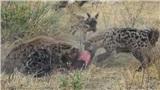 Linh cẩu và chó hoang cướp mồi qua lại: Kết bất ngờ