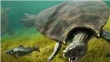 Tìm thấy con rùa khổng lồ nặng tới hơn 1 tấn
