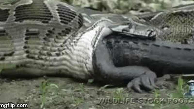 Trăn thành tinh nuốt chửng cá sấu còn sống vào bụng