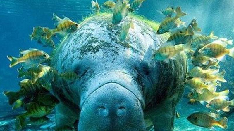 Giải mã bí ẩn: Tại sao 'gã khổng lồ' lợn biển không có kẻ thù dưới đáy đại dương?