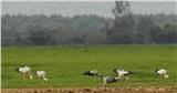 Hàng trăm con chim Giang Sen quý hiếm xuất hiện ở Đồng Nai