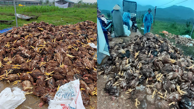 Chủ nhân 10.000 con gà bị nước lũ dìm chết ở Nghệ An: 'Định vài hôm nữa bán gà rồi trả nợ, giờ mất trắng tất cả'