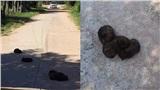 'Cưng xỉu' hình ảnh đám chó con nằm cuộn tròn giữa đường khiến tài xế liên tưởng đến vật thể lạ