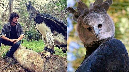 Sửng sốt với loài chim đại bàng lớn nhất hành tinh, có biểu cảm khuôn mặt giống hệt con người