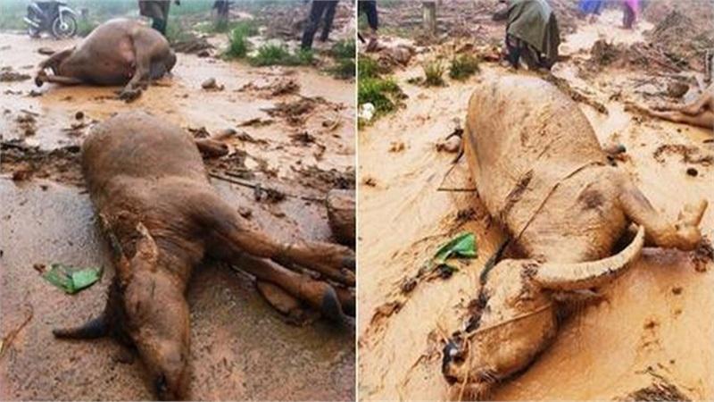 Nghệ An: Sạt lở đất kinh hoàng, người dân ngậm ngùi nhìn đàn trâu 8 con bị vùi lấp