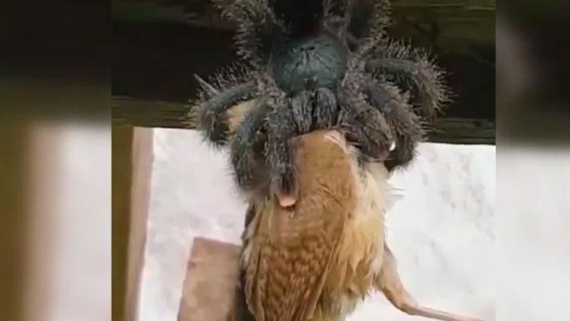 Rợn người cảnh nhện khổng lồ nuốt chửng chim