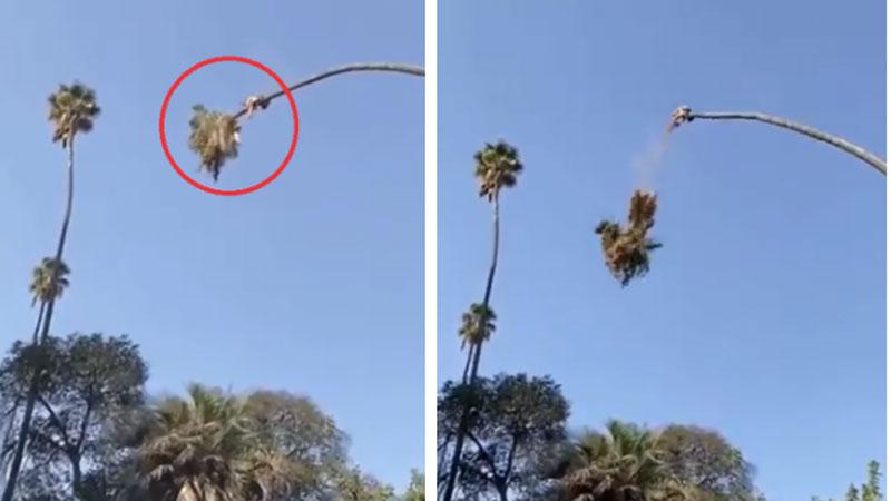 Người đàn ông cầm cưa máy vắt vẻo trên ngọn cây cao khiến ai chứng kiến cũng phải thót tim, đặc biệt là khoảnh khắc chặt cây xong