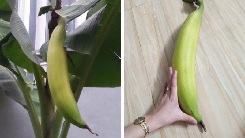 Trái chuối có kích thước khủng, nặng gần 1,5kg khiến cư dân mạng xôn xao
