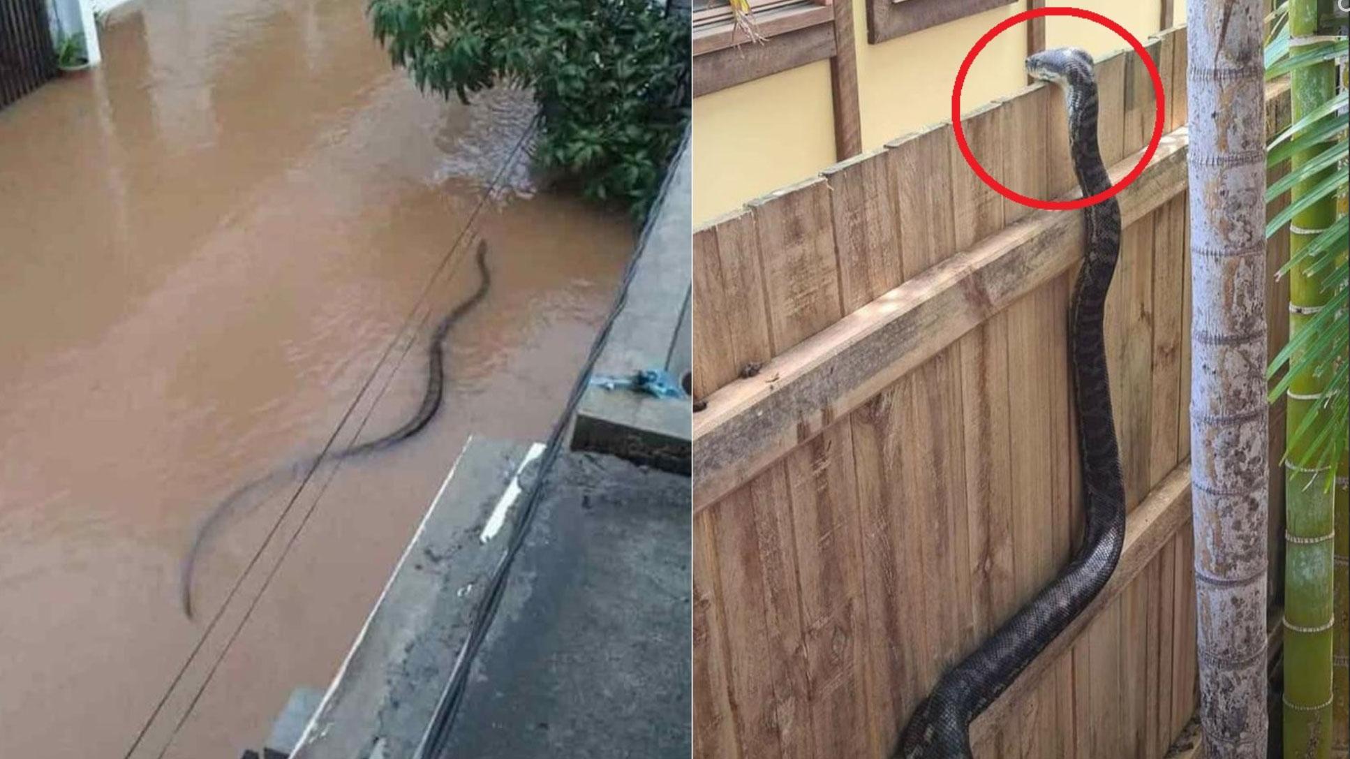 Hú hồn 'bé Na' dài 2m tung tăng bơi lội giữa đường phố ngập nước, vắt vẻo trên bờ rào thò cổ vào trong vườn để rình mồi