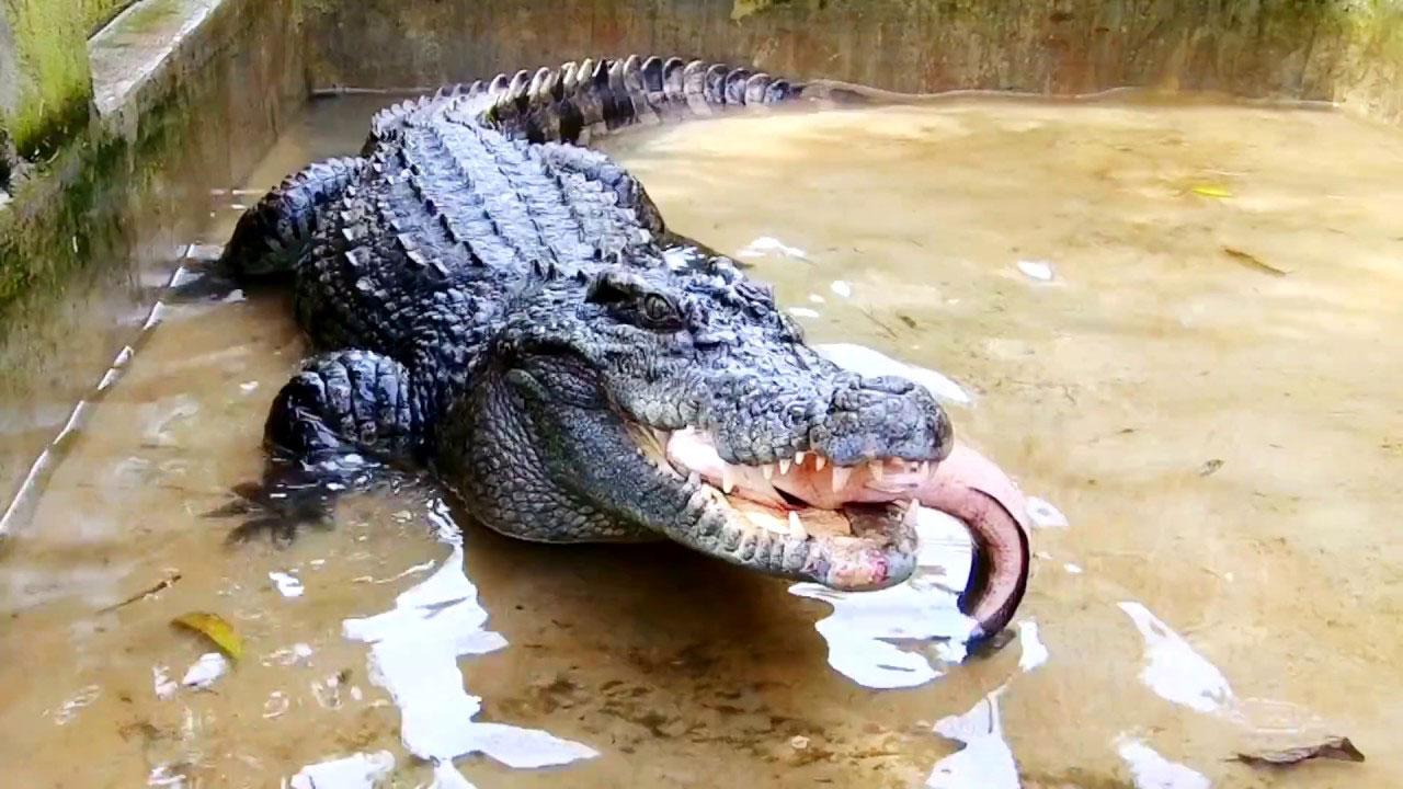 Phát hiện cá sấu nặng 15kg bò lên sân nhà dân ở Cà Mau