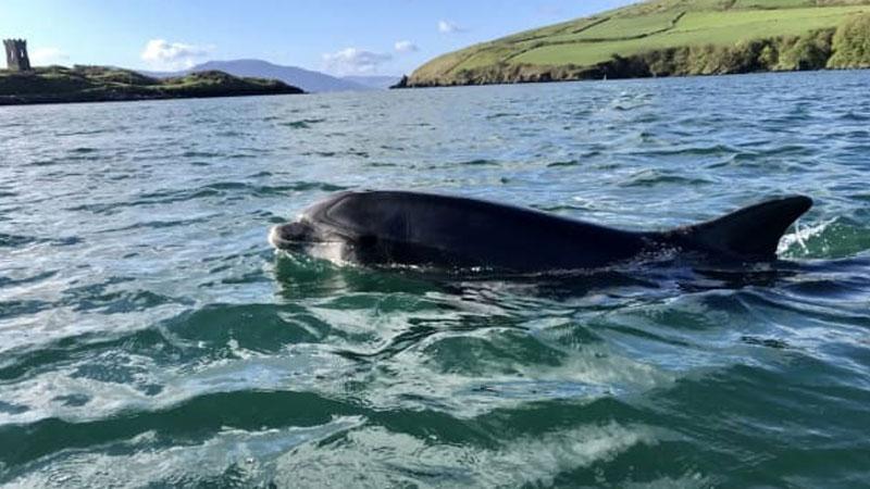 Sự biến mất bí ấn của cá heo nổi tiếng ở Ireland