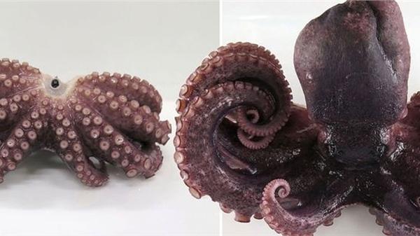 Phát hiện bạch tuộc 9 vòi hiếm có ở bờ biển Nhật Bản