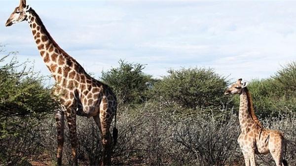 Kỳ lạ con hươu cao cổ lùn nhất thế giới