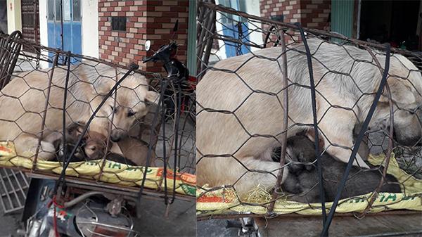 Đau lòng hình ảnh chó mẹ tranh thủ cho con bú những giọt sữa cuối cùng trước khi bị giết thịt