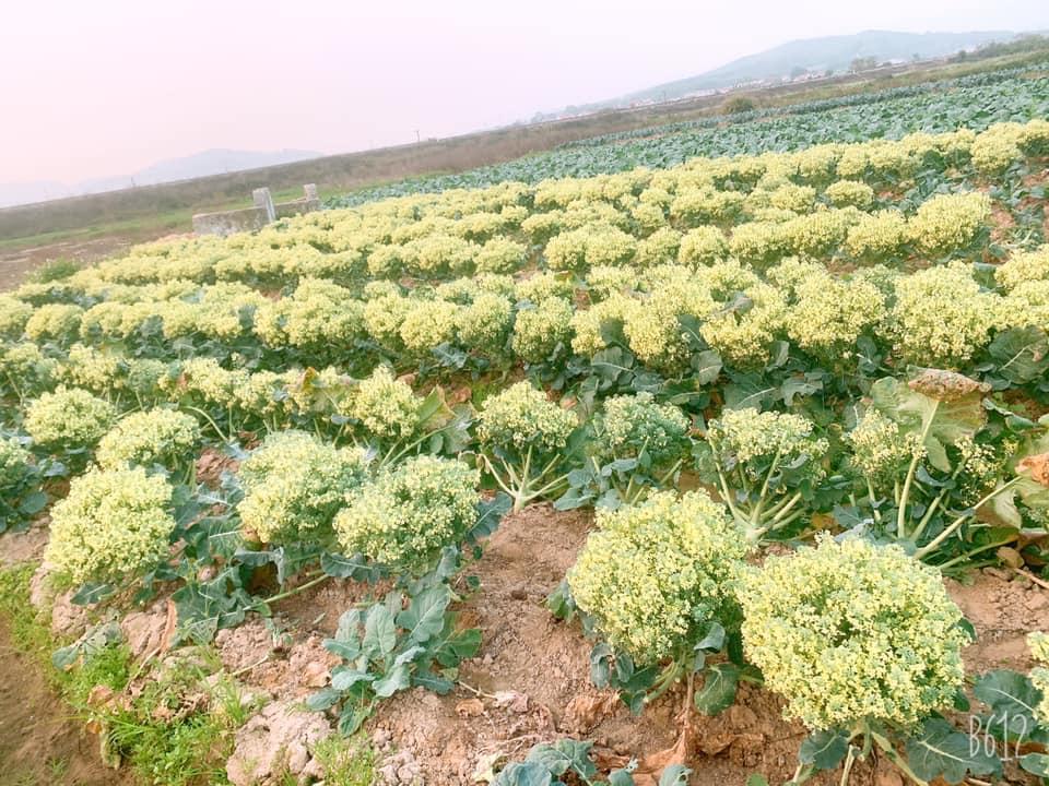 Hàng trămcây rau súp lơ nở bung tại vườn