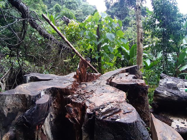 Theo cơ quan chức năng tỉnh Hà Giang, 66 cây nghiến có khối lượng trên 700m3 đã bị tàn phá ở rừng đặc dụng Du Già.