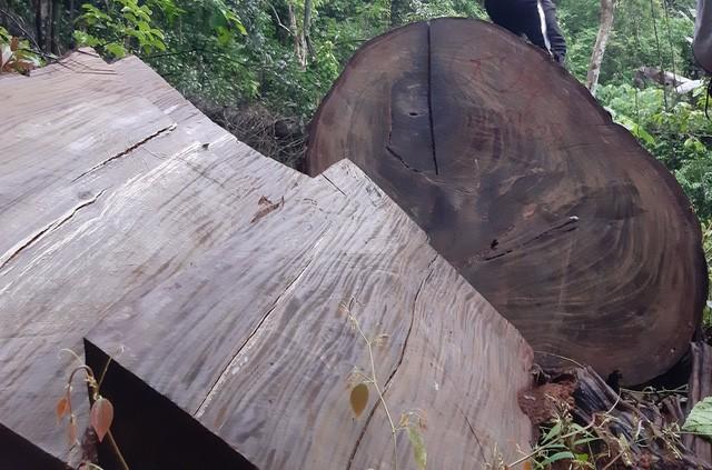 Một số cây nghiến bị 'lâm tặc' đốn hạ, cắt khúc, chưa kịp đưa ra khỏi rừng.