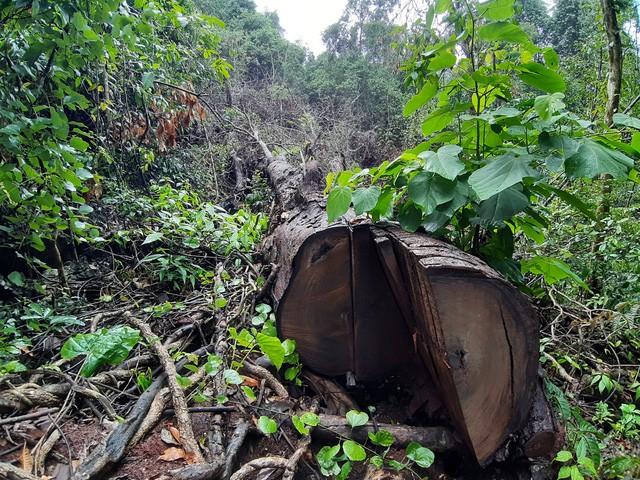 Một cây nghiến cổ thụ mới bị cưa hạ, nằm trơ trọi giữa rừng già...